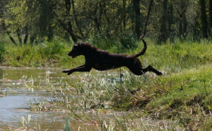 Chocolate Labrador jumping in a pond on a retrieve