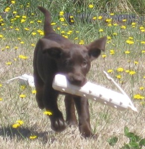 chocolate labrador puppy retrieving a puppy bumper
