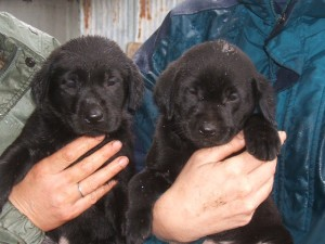 Labrador puppy breeding program